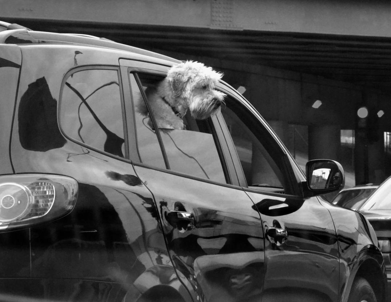 Cute doggie enjoying the beautiful weather | Diversey Avenue | Logan Square, Chicago |